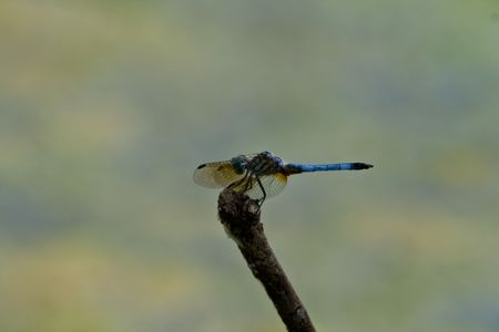 insecta: Great blue skimmer dragonfly wings forward focus on wings Stock Photo