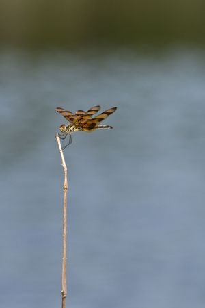 libellulidae:  pennant dragonfly perched on twig