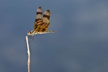 insecta:  pennant dragonfly perched on twig