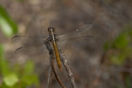 insecta:  pennant dragonfly resting on a small branch