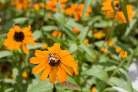 apocrita: Orange Zinnia with lots of open florets and bee with selective DOF
