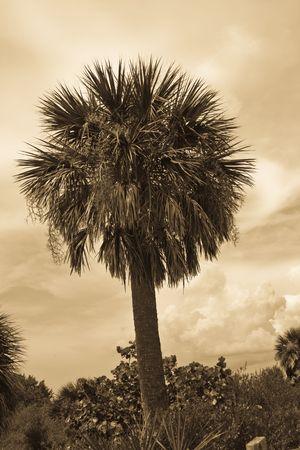 underbrush: Sepia toned palm tree among the underbrush