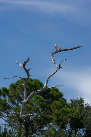 preening: White ibis preening while perched at the top of a dead tree