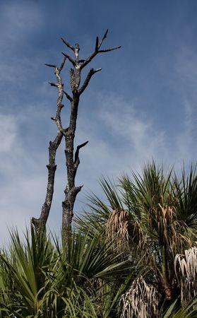 underbrush: Charred barren tree trunks jutting up from the underbrush