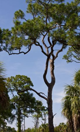 intresting: Slash pine in the forest with intresting trunk