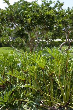 Cluster of Philodendron winterbourn aka Philodendron Xanadu photo
