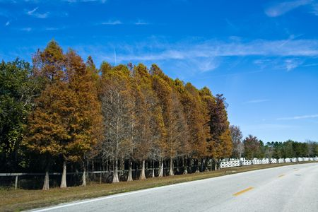 Row of cypress trees along the side of a road in autumn