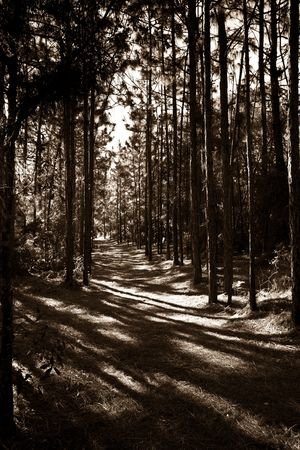 High Contrast Sepia Toned Pine Forest Path Stock Photo