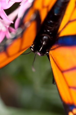 Soft Focus Marco shot of the head and thorax of a monarch butterfly