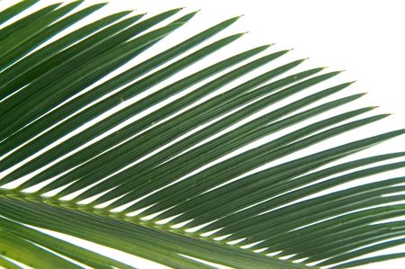 cycas: cycas leaf Stock Photo
