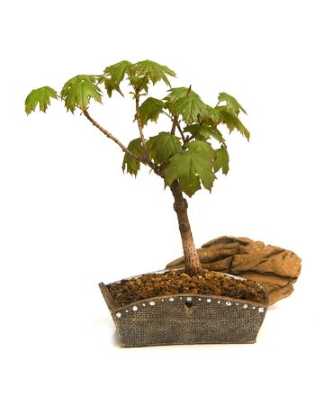 bonsai isolated on white background Stock Photo - 2632437