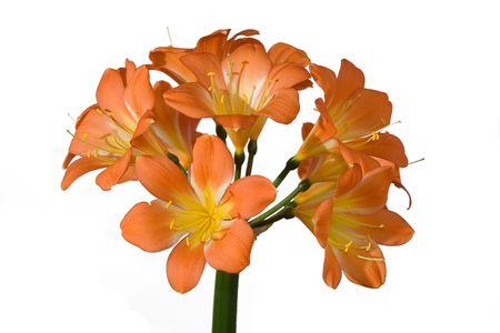show garden: Clivia flower isolated on white Stock Photo