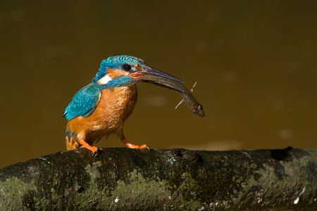 the kingfisher with fish