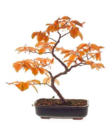Beech bonsai in autumn colors photo