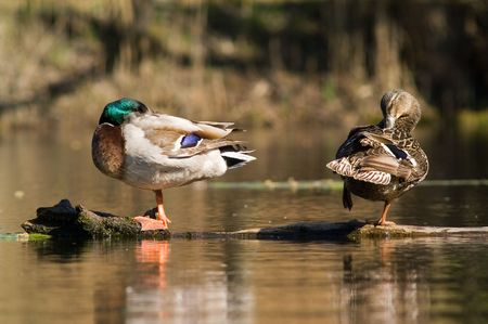 preen: Duck siesta Stock Photo