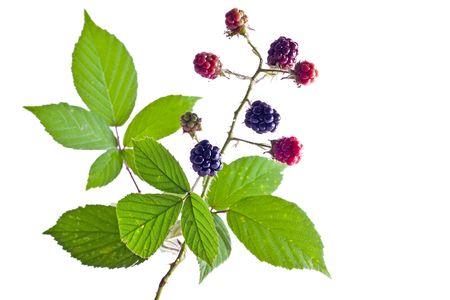brambleberry: brambleberry follaje aislado m�s de fondo blanco