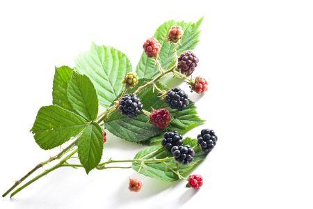 brambleberry: brambleberry follaje m�s aislado fondo blanco Foto de archivo