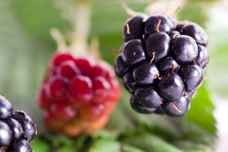 brambleberry: brambleberry follaje Foto de archivo