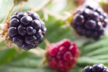 brambleberry: brambleberry follaje detalle