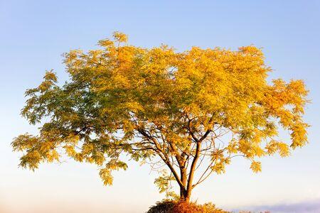 A beautiful yellow tree during the fall season Standard-Bild