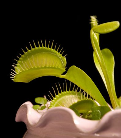Venys flytrap exotic plant, insect eater photo