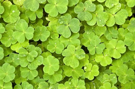 lucky clover: Green clover background with drops Stock Photo