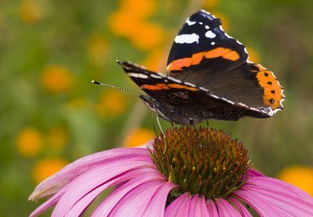 butterfly ( Vanessa atalanta ) feeding on flower ( Echinacea purpurea ) Stock Photo - 3501670