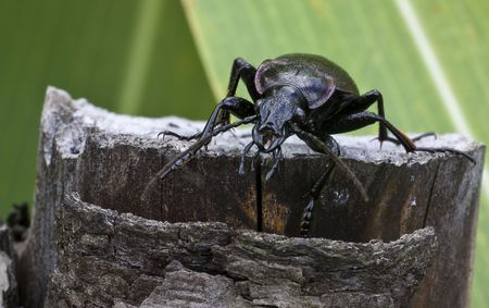 appropriately: Ground beetle more appropriately known as   Carabus Stock Photo