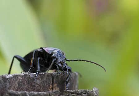 appropriately: Ground beetle more appropriately known as   Carabus nemoralis
