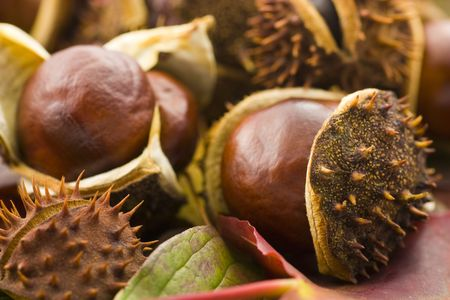 conkers: A collection of brown chesnuts