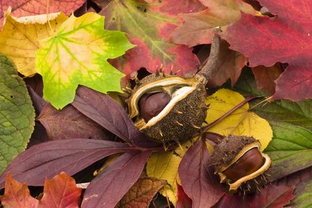 conkers: fallen chestnuts on colorful leaves