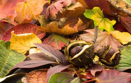 fallen chestnuts on colorful leaves photo