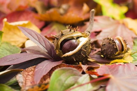 fallen chestnuts on colorful leaves