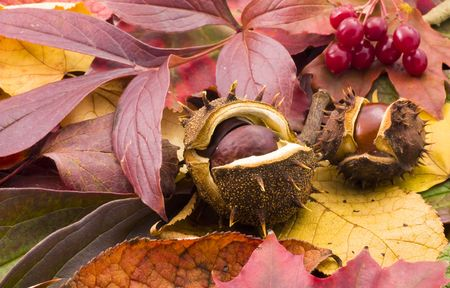 fallen chestnuts on colorful leaves Stock Photo - 3636005