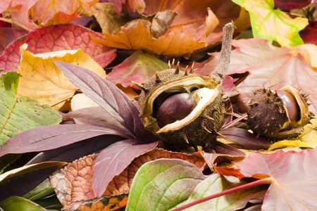 fallen chestnuts on colorful leaves Stock Photo - 3782131