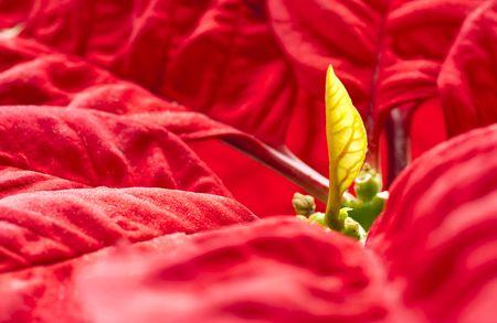 pulcherrima: Nuova foglia, poinsettia (Euphorbia pulcherrima) Archivio Fotografico