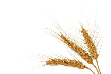 corn stalk: Wheat isolated on white background