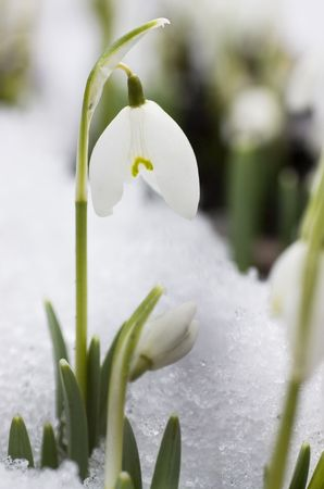 galanthus: White snowdrops in the last snow