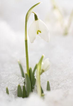 White snowdrops in the last snow photo