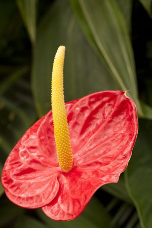phallus: On green background of leaf red anthurium