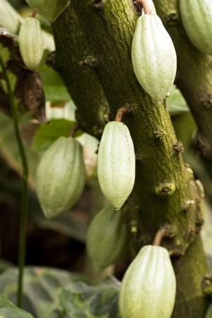 Lots of cocoa pods on tree Stock Photo