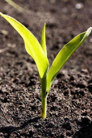 Young corn crop at spring photo