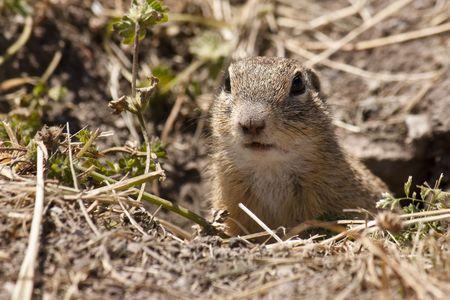 herbivore: Small marmot peeking out of burrow -Spermophilus citellus