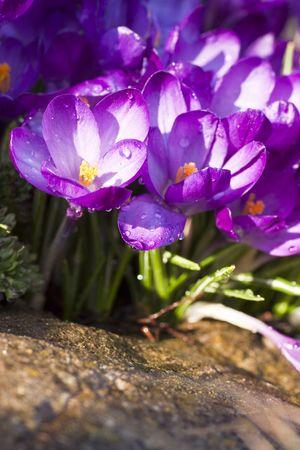 ablooming: Purple crocus flower on the spring meadow