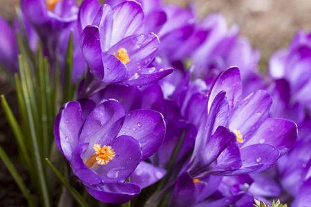 ablooming: Viola croco fiore di primavera su prato Archivio Fotografico
