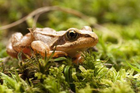 Closeup of brown frog Rana temporaria photo