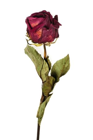 withered flower: faded rose isolated on white background