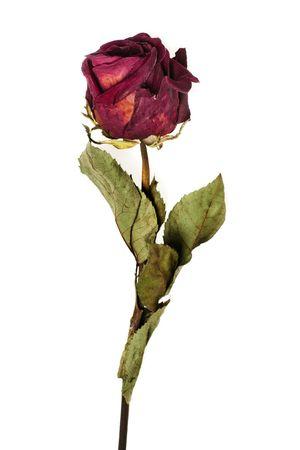 flores secas: se desvaneci� Rosa fondo blanco aislado en Foto de archivo