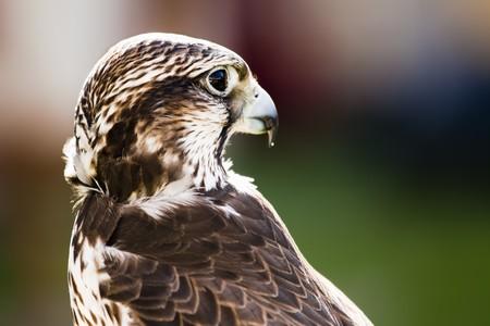 Steinschätzer Falcon (Falco Cherrug) Porträt