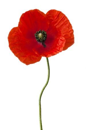 Single poppy isolated on white